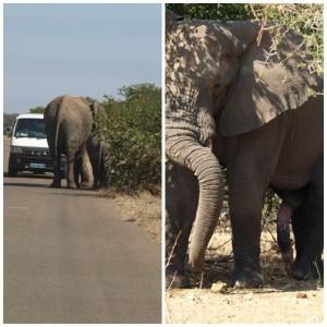 olifants2