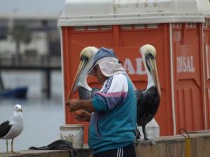 Pelicanos paracas