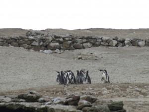 pinguinos islas ballestas